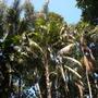 Giant Kentia Palm (Howea fosteriana) (Kentia Palm (Howea fosteriana))