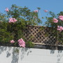 Podranea ricasoliana - Pink Trumpet Vine (Podranea ricasoliana - Pink Trumpet Vine)