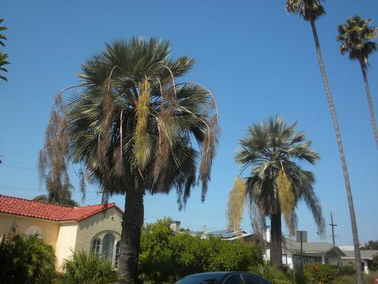 Brahea armata - Mexican Blue Palms (Brahea armata - Mexican Blue Palm)