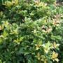 Osmanthus....Tri Colour