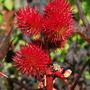 Ricin making a lovely splash of colour.... (Ricinus communis (Castor oil plant))