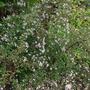 Aster Horiszontalis (Aster laterifolius Floris var -Horiszontalis)