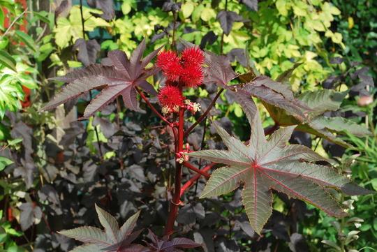Ricinus (common one).... (Ricinus communis (Castor oil plant))