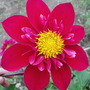 Collerette Dahlia Don Hill