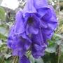 Aconitum_carmichaelii_arendsii_2011