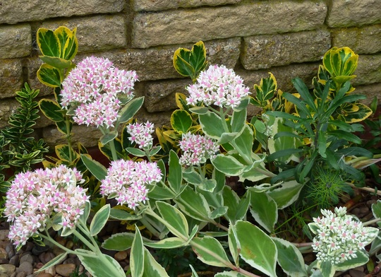 My favourite sedum ...