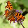 Comma butterfly and Verbena bonariensis (Verbena bonariensis (Verbena))