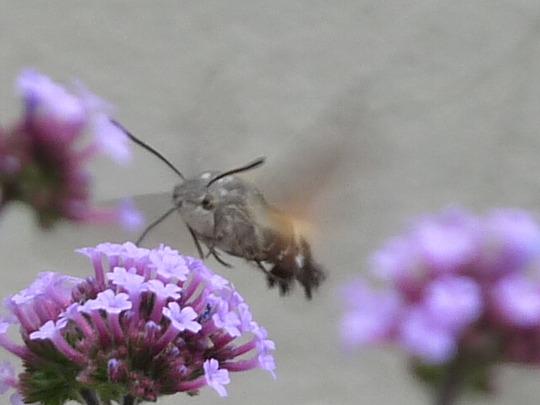 Hummingbird Hawk Moth and Verbena 1 (Verbena bonariensis (Verbena))