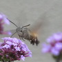 Hummingbird Hawk Moth and Verbena 1 (Verbena bonariensis (Verbena))