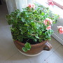 Zonals - Basket replanted....
