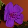 It's Tibouchina Time! (Tibouchina urvilleana (Lasiandra))