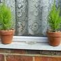 "Miniature Cypressus ""Wilma Goldcrest"""