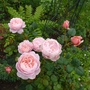 Shrub rose 'Queen of Sweden'