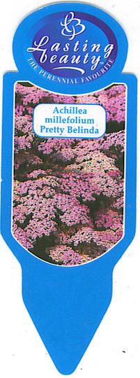 Achillea millefolium Pretty Belinda (Achillea millefolium Pretty Belinda)