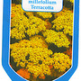 20._achillea_millefollium_terracotta_1