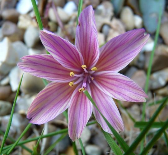 Lewisia 'Little Plum'