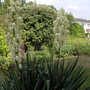 Another yucca (Yucca gloriosa)