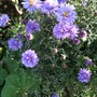 Purple_aster_in_back_garden