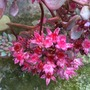 Sedum_cauticola_coca_cola_