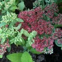 Sedum_in_back_garden