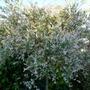 my salex tree