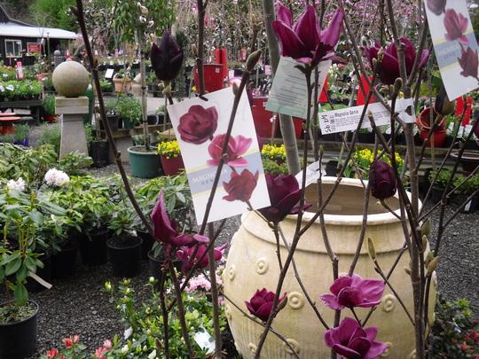 magnolia 39 genie 39 grows on you. Black Bedroom Furniture Sets. Home Design Ideas