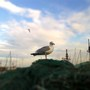 Seagull, Scarborough Aug 2011