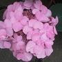 Hydrangea 'Endless Summer' ('Twist-n-Shout') (Hydrangea macrophylla (Hortensia))