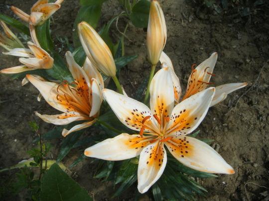 Lily 'orange electric' (Lilium)