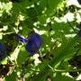 Monkshood: Aconitum dephinifolium (Aconitum delphinifolium (Larkspurleaf Monkshood))