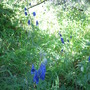 In the Wild: Monkshood (Aconitum delphinifolium (Larkspurleaf Monkshood))