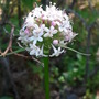 In the Wild: Valeriana capitata (Valeriana capitata)