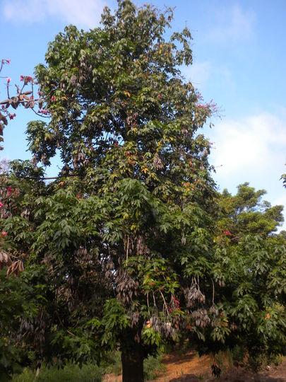 Brachychiton acerifolia - Illawarra Flame Tree (Brachychiton acerifolia - Illawarra Flame Tree)