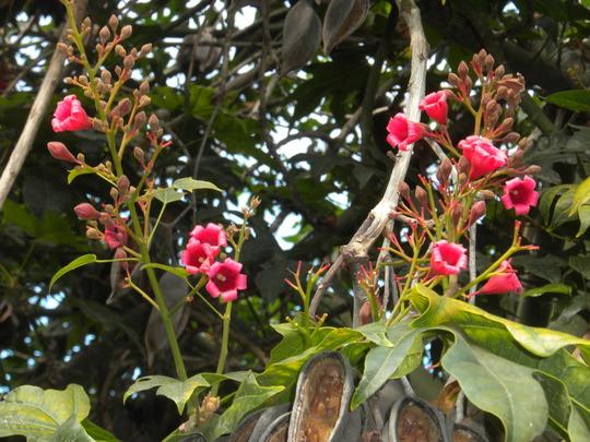 Brachychiton acerifolia - Illawarra Flame Tree Buds/Flowers (Brachychiton acerifolia - Illawarra Flame Tree)