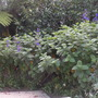 Tibouchina grandifolia - Silver leafed Princess Flower (Tibouchina grandifolia - Silver leafed Princess Flower)