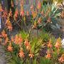 Aloe (Aloe)