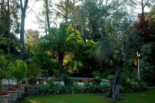 Notre jardin avec le phoenix et l olivier Our garden with phoenix canariensis and olive tree