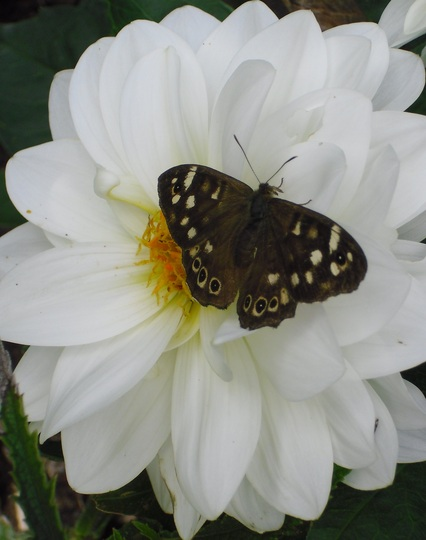 Speckled Wood Butterfly on Dahlia