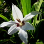 Acidanthera_1