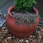 Thyme_in_pot