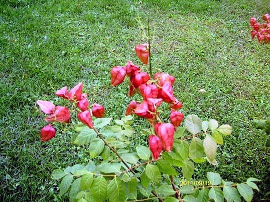 Rose Lantern Raintree (Koelreuteria paniculata (Golden-rain tree))