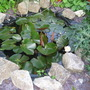 Pond Lilies_may_2008_-_34.jpg