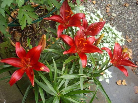 Lilium dark red. (Lilium)