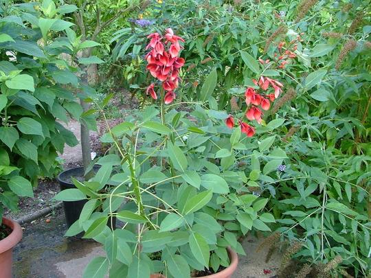 Erythrina crista-galli (Erythrina crista-galli)