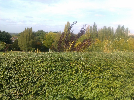Trimmed Hawthorn Hedge (Crataegus monogyna (Hawthorn))