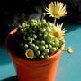 Lithops flowering