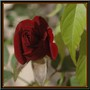 One of the last rose