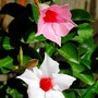 Rose and white (Mandevilla or dipladénia)