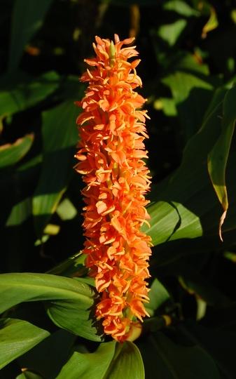 "Hedychium densiflorum ""Assam Orange"" (Hedychium densiflorum (Ginger Lily))"