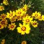 Coreopsis_grandiflora_heliot